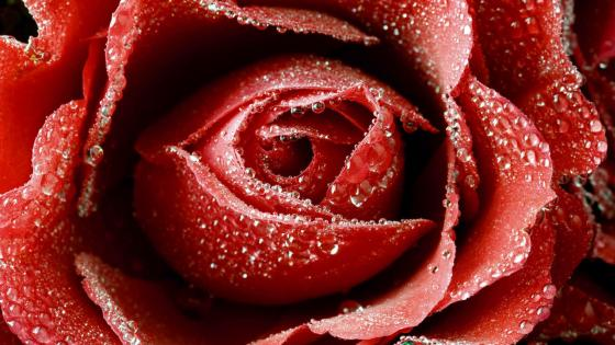 Big Red Rose wallpaper