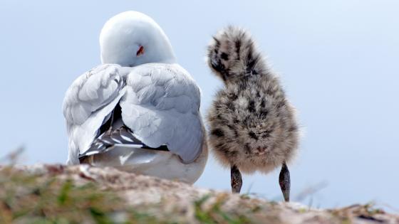 Baby Gull wallpaper