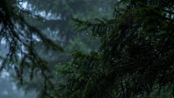 Rainy evergreen forest wallpaper