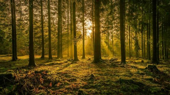 Sunlight in a forest wallpaper