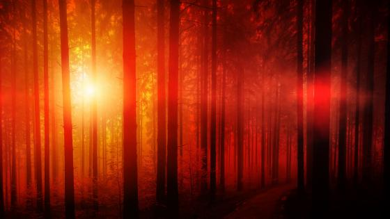 Forest in the red sunlight wallpaper