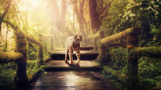 White tiger in sunlight wallpaper