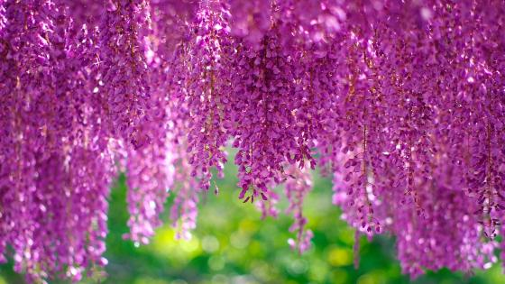 Wisteria wallpaper