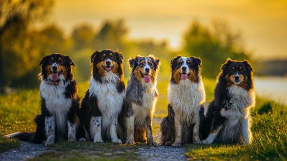 Australian Shepherd dogs wallpaper