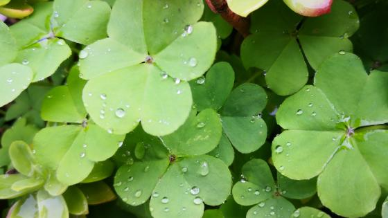 Clovers after rain wallpaper