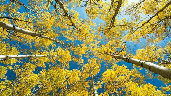 American Aspen trees low angle view wallpaper