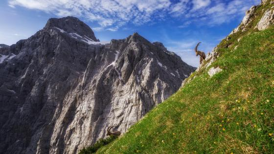 Alpine ibex in the Julian Alps, Slovenia wallpaper