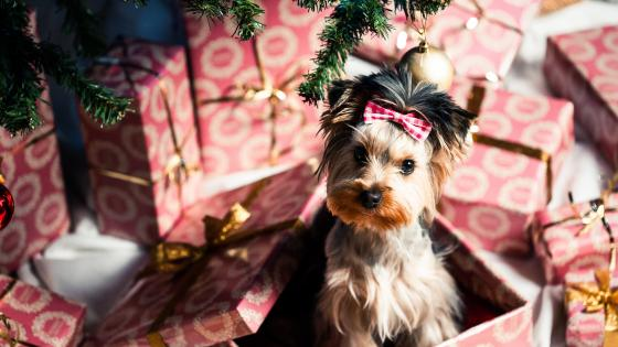 Yorkshire Terrier for Christmas wallpaper