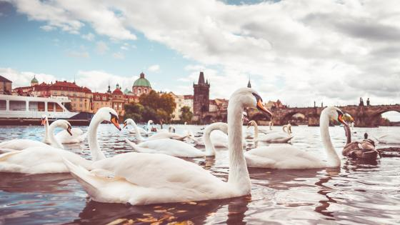 White swans on the Vltava river in Prague wallpaper