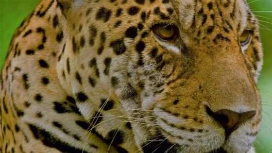 Face of Tiger wallpaper