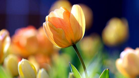 Yellow Tulip wallpaper