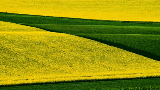 Rapeseed field wallpaper