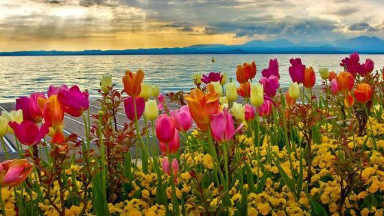 Colofrul tulips wallpaper