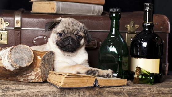 Pug dog reads a book wallpaper