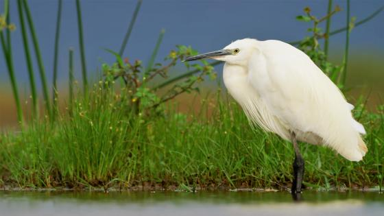 Great Egret wallpaper