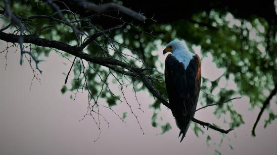 Bald eagle on a branch wallpaper