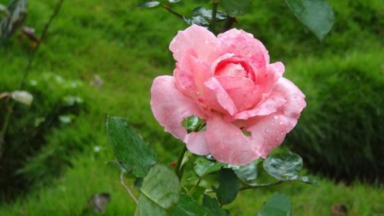 Pink rose after rain wallpaper