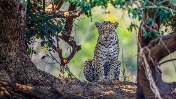 African leopard wallpaper