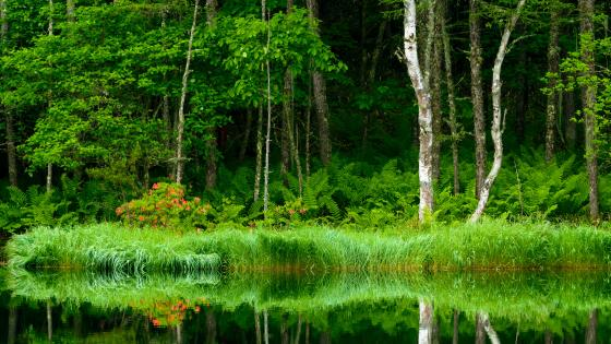 Riparian forest wallpaper
