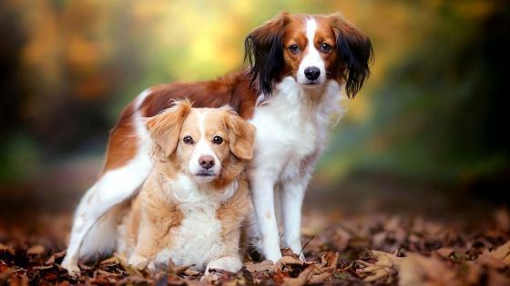 Cute Kooikerhondje Dogs wallpaper