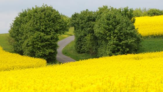Yellow canola fields wallpaper