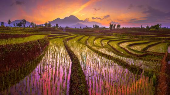 Paddy field terraces wallpaper