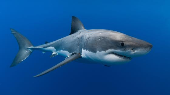 Great white shark in the blue sea wallpaper
