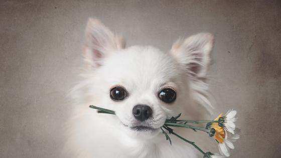 White Chihuahua dog with flowers in his mouth wallpaper