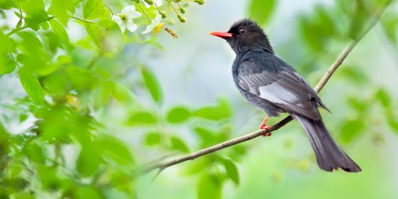 Black Bulbul bird wallpaper