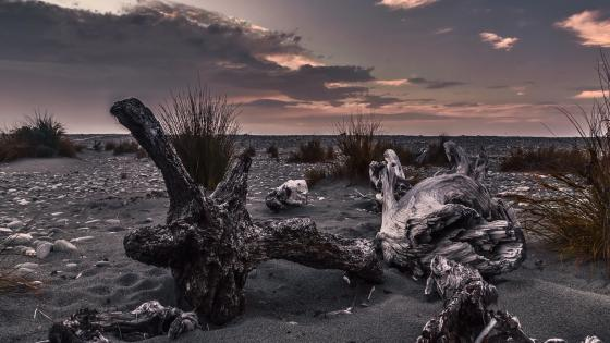 Driftwood in the black sand (New Zealand) wallpaper