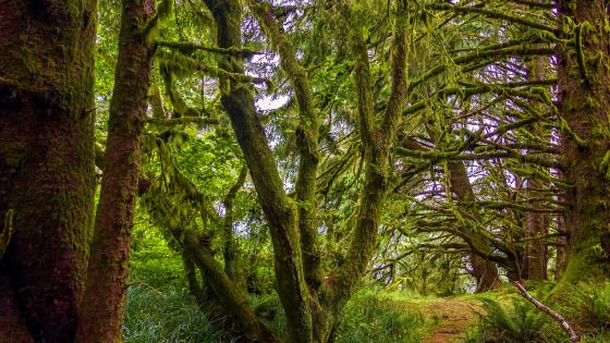 Mossy forest (Pacific Northwest, Oregon) wallpaper