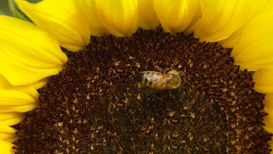Bee (Sunflower) wallpaper