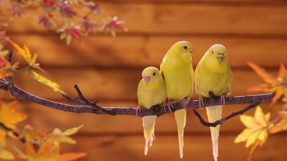 Yellow Parrots wallpaper