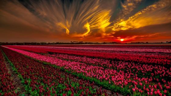 Field of Tulips at Keukenhof Park wallpaper