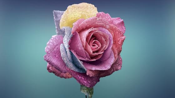 Pastel rose wallpaper