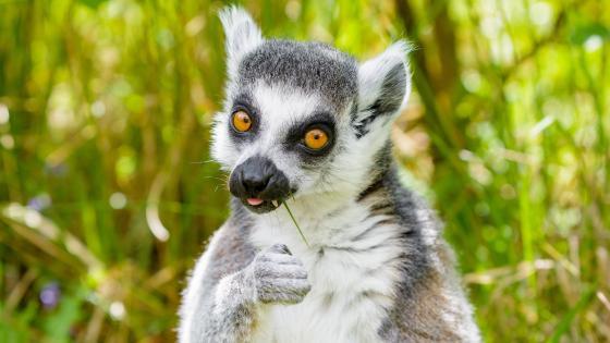 Funny lemur wallpaper
