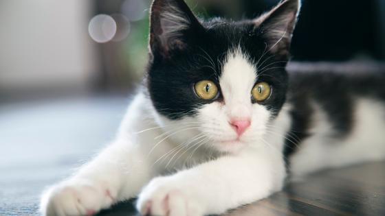 Black and white cat wallpaper