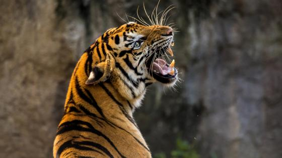 Roaring angry tiger wallpaper