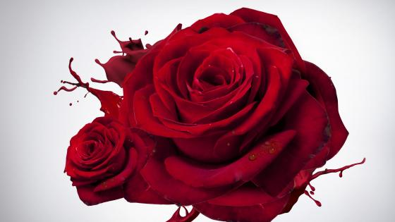 Red roses on white background wallpaper