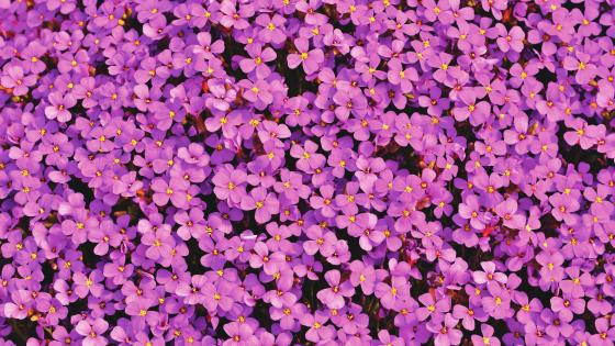 Aubrieta flowers wallpaper