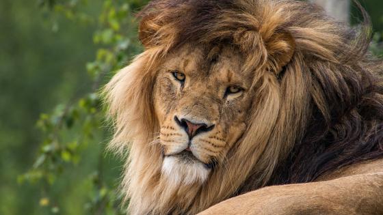 Lion head 🦁 wallpaper