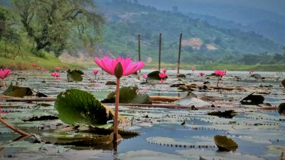 water lily spring lake wallpaper