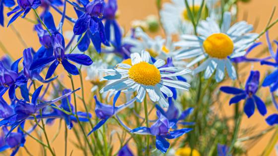 Twolobe larkspur and chamomile flowers wallpaper