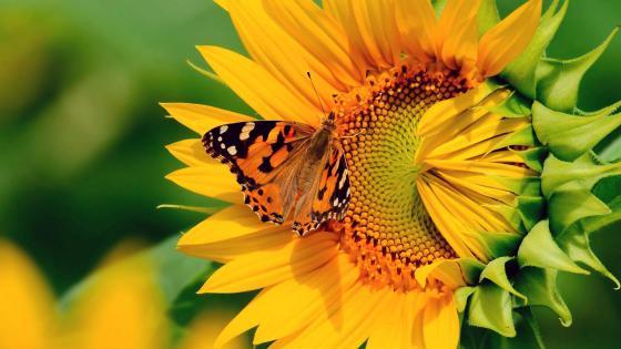 Butterfly on a sunflower wallpaper