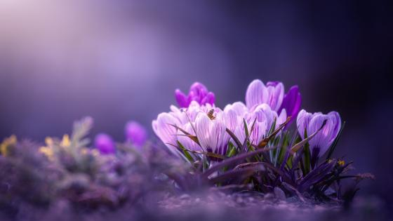 Purple Crocuses wallpaper
