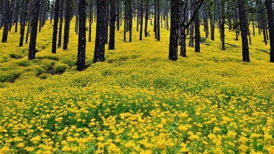 Yellow flower carpet in the forest wallpaper