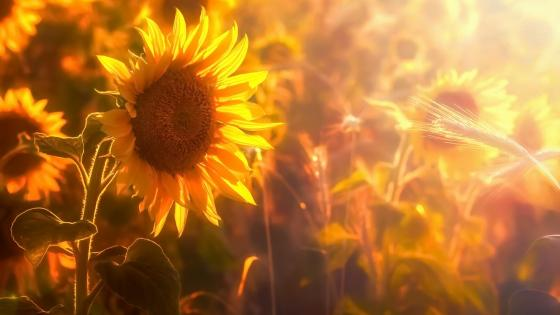 Sunflower in the sunlight wallpaper