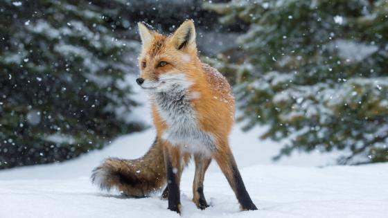Fox in the snowfall wallpaper