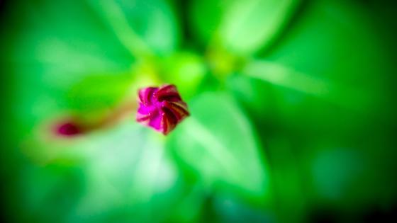 Flower bud wallpaper