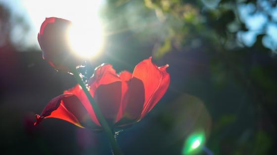 Tulips in the sunlight wallpaper